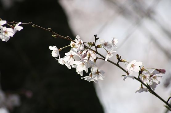 桜―6.jpg