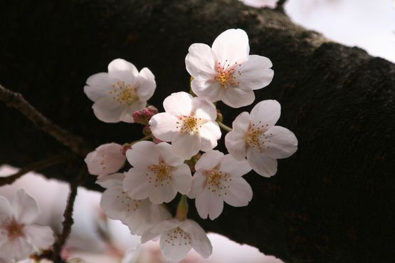 桜―9.jpg