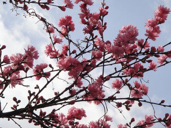 桜―4.jpg