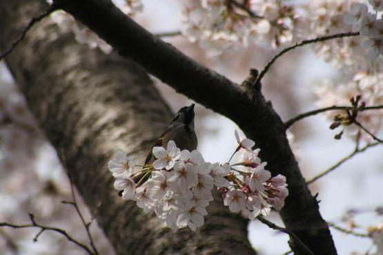 桜―7.jpg