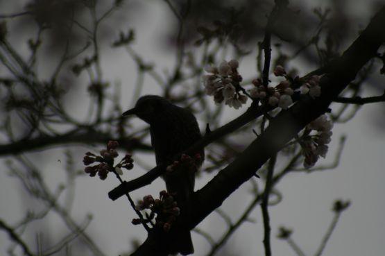 桜ー3.jpg